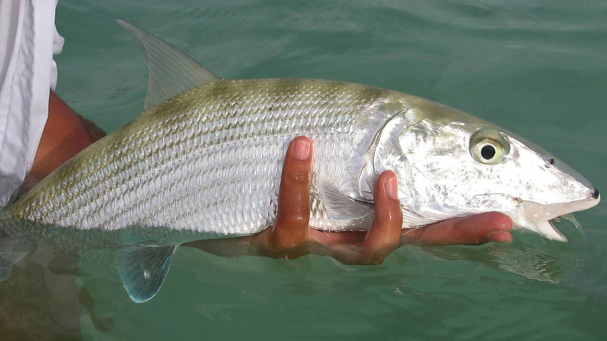 Salzwasserfischen auf Bonefish in Los Roques Venezuela